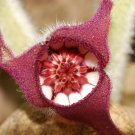 5 WILD GINGER Asarum Canadense Canadian Heart Snakeroot Flower Herb Seeds + GiftShip From USA