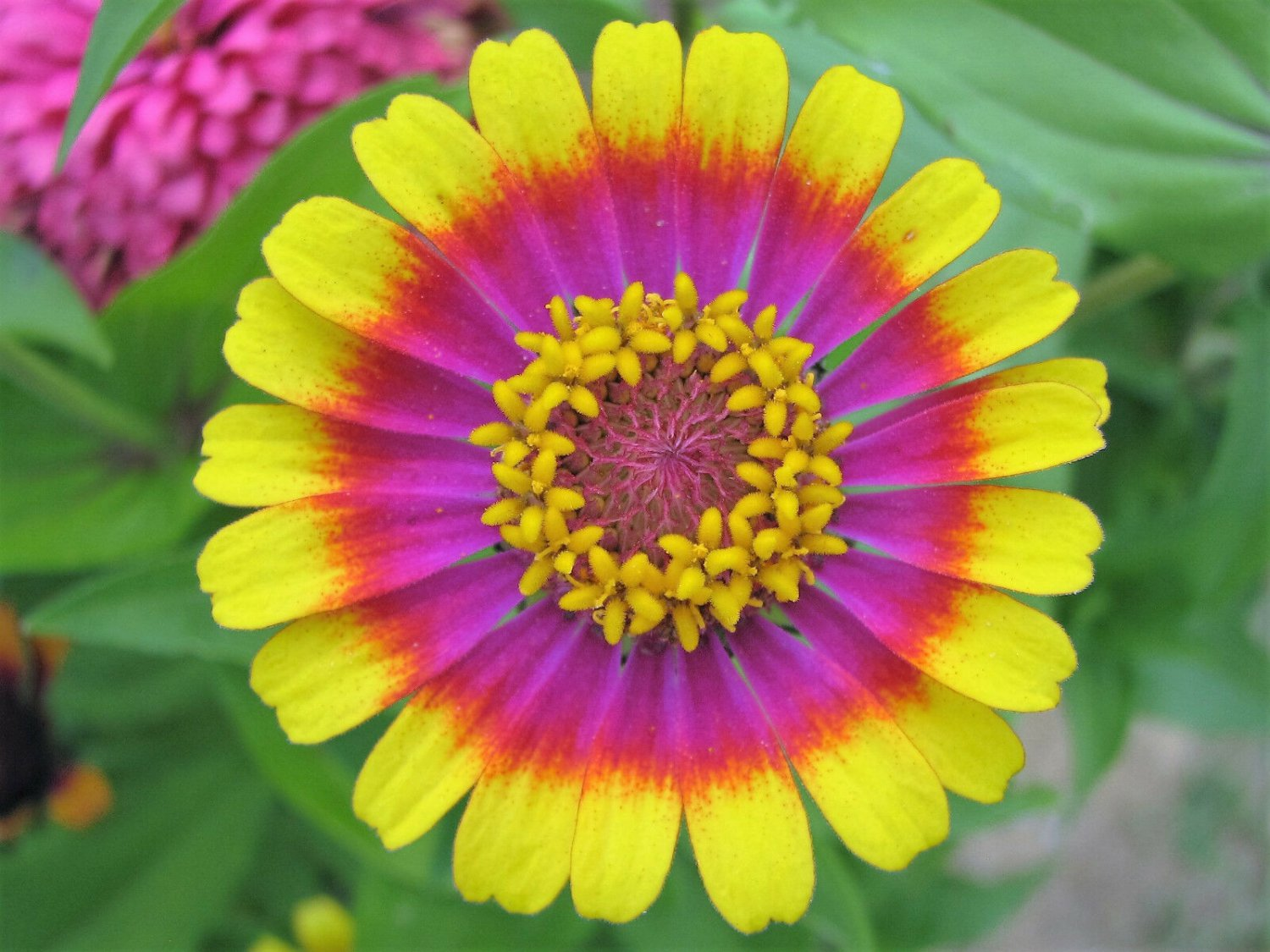150 Carousel Mix Zinnia Elegans Carrousel Flower Seeds Mixed Colors Two & 3 ToneShip From USA