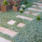 1000 DICHONDRA Repens aka Lawn Leaf Flower Evergreen Ground Cover Seeds + GiftShip From USA