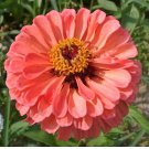 250 SALMON QUEEN ZINNIA Elegans California Giant Double Flower Seeds *Combnd S/HShip From USA