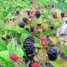 25 TRAILING BLACKBERRY Pacific Rubus Ursinus Vining Shrub Fruit Berry SeedsShip From USA
