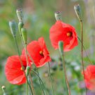 250 Red POPPY Long Headed Blindeyes Flower Seeds + GiftShip From USA