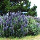 50 Blue PRIDE OF MADEIRA Echium Candicans Fastuosum Nectar Flower Seeds *CombS/HShip From USA