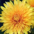 500 YELLOW CHRYSANTHEMUM Morifolium Flower Seeds *Comb S/H & Free GiftShip From USA