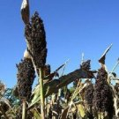 50 BLACK AMBER CANE SORGHUM / SUGAR CANE Sorghum Bicolor Seeds *Comb S/HShip From USA