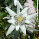 50 EDELWEISS Leontopodium Alpinum Flower Seeds + Gift & Comb S/HShip From USA