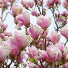 5 LILY MAGNOLIA FLOWER TREE Pink & Purple Fragrant Tulip Magnol Liliiflora SeedsShip From USA