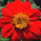 50 MEXICAN SUNFLOWER TORCH Tithonia Rotundifolia Flower Seeds + Gift & Comb S/HShip From USA