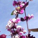 10 HYACINTH BEAN Lablab Purpureus Blue Purple White Flower Ornamental Vine SeedsShip From USA