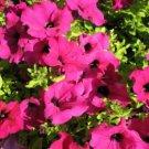 200 PINK LAURA BUSH PETUNIA Violacea Perennial Frilled Trumpet Flower SeedsShip From USA