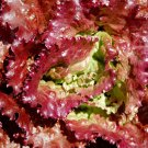 3000 PRIZEHEAD LETTUCE Loose Leaf Early Prize Head Red Lactuca Vegetable SeedsShip From USA