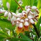5 KAT GINGER Pink & Yellow Shell Alpinia Katsumadai Hayata Flower Herb SeedsShip From USA