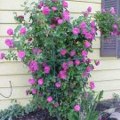 5 PURPLE CLIMBING ROSE Rosa Bush Vine Climber Fragrant Butterfly Flower SeedsShip From USA