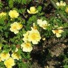 10 Yellow MANCHU ROSE Bush Canary Bird Rosa Xanthina Hummingbird Flower SeedsShip From USA