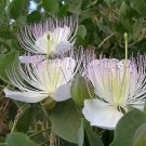 20 CAPER BUSH Edible Capers Flinders Rose Flower Capparis Spinosa Shrub SeedsShip From USA