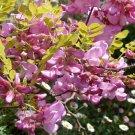 15 ROSE LOCUST / PINK ACACIA Flower Robinia Hispida Fertilis Tree Shrub SeedsShip From USA