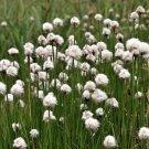 25 TAWNY COTTONGRASS Flower Seeds Eriophorum Virginicum Hare's Tail Cotton GrassShip From USA