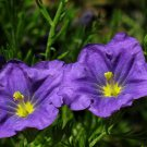 250 PURPLE ROBE CUP FLOWER Nierembergia Hippomanica Caerulea Seeds *Combined S/HShip From USA