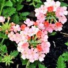 25 ORGANIC Florist PEACH VERBENA Grandiflora Fragrant Groundcover Flower SeedsShip From USA