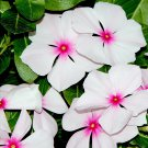 100 BRIGHT EYES PERIWINKLE Vinca Rosea Dwarf White & Pink Flower Seeds *Comb S/HShip From USA