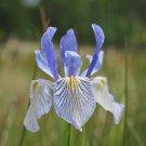 50 MISSOURI IRIS Missouriensis Rocky Mountain Blue Purple Yellow Flower SeedsShip From USA