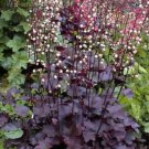 50 PALACE PURPLE HEUCHERA / CORAL BELLS Micrantha Flower Seeds *Comb S/H & Gift!Ship From USA