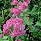 10 EMPEROR'S WAVE SEDUM Red Upright Telephium Succulent Flower Rock Garden SeedsShip From USA