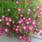 10 PURPLE ROBE SAXIFRAGA Saxifraga Arendsii Moss Rockfoil Evergreen Flower SeedsShip From USA