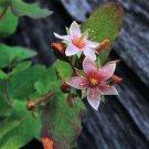 50 MARSH SAINT JOHN'S WORT Hypericum Virginicum Pink Mauve Flower Seeds *CombS/HShip From USA
