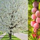 5 AMERICAN PLUM Prunus Americana Red Purple Fruit White Flower Shrub Tree SeedsShip From USA