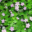 20 SIBERIAN SPRING BEAUTY Pink Purslane Claytonia Sibirica Candy Flower SeedsShip From USA