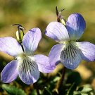 100 PRAIRIE VIOLET PURPLE VIOLA Coastal Larkspur Pedatifida Palmata Flower SeedsShip From USA