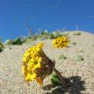 20 YELLOW SAND VERBENA Coastal Abronia Latifolia Arenaria Flower Seeds *Comb S/HShip From USA