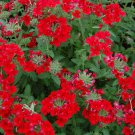 50 SCARLET VERBENA Red Nana Compacta Fragrant Flower Seeds *Combined ShippingShip From USA