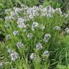 10 SHINING BLUESTAR Ozark or Showy Blue Star Amsonia Illustris Flower SeedsShip From USA