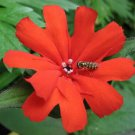 25 VESUVIUS CAMPION Red Orange Lychnis Arkwrightii Catchfly Flower Seeds *CombSHShip From USA