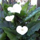25 WATER ARUM Water Dragon Wild Calla Palustris Wetland White Flower Seeds +GiftShip From USA