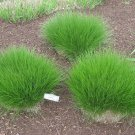 200 PRAIRIE DROPSEED Ornamental Native Grass Sporobolus Heterolepis Seeds + GiftShip From USA