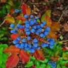20 OREGON GRAPE Holly Fruit Vine Hollyleaved Barberry Mahonia Aquifolium SeedsShip From USA