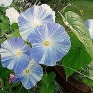 50 Blue & White FLYING SAUCERS MORNING GLORY Flower Vine Ipomoea Purpurea SeedsShip From USA