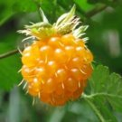 20 SALMONBERRY RUSSIAN RASPBERRY Rubus Spectabilis Fruit Seeds Purple FlowersShip From USA