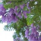 25 BLUE JACARANDA TREE Mimosifolia Fern Flower Seeds + Gift & Comb S/HShip From USA