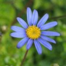 50 Blue RICE BUTTON ASTER Dumosus Flower Seeds + Free Gift & Comb S/HShip From USA