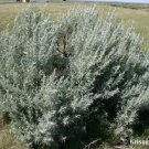 100 SILVER SAGEBRUSH Artemisia Ludoviciana Herb Flower Seeds + Gift & Comb S/HShip From USA