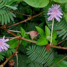 100 MIMOSA / SENSITIVE PLANT Schrankia Uncinata Flower Seeds + Gift & Comb S/HShip From USA