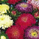 1000 POWDER PUFF ASTER MIX Callistephus Chinensis Flower Seeds + Gift & Comb S/HShip From USA