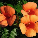 25 HUMMINGBIRD TRUMPET CREEPER VINE Campsis Radicans Flower Seeds +Gift & CombSHShip From USA