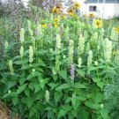500 GIANT YELLOW HYSSOP Agastache Nepetoides Herb Flower Seeds + Gift & Comb S/HShip From USA