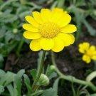 250 YELLOW DAISY Chrysanthemum Multicaule Mini Marguerite Flower Seeds *Comb S/HShip From USA
