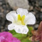 100 Twinkle WHITE MONKEY FLOWER Mimulus Seeds + Gift & Comb S/HShip From USA